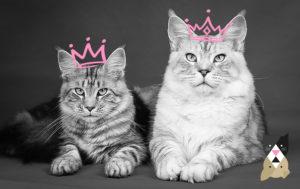Le Maine Coon, câlin et majestueux, est le chat préféré des Français !
