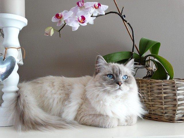 Le Ragdoll, l'une des races de chats populaires les plus doux