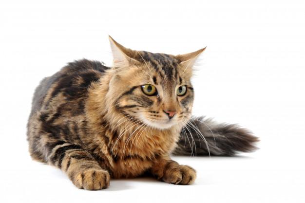 Le chat norvégien, l'une des plus grandes races de chats populaires