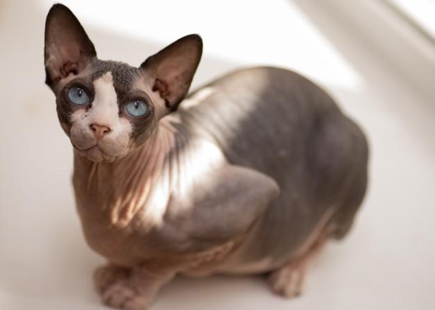 Le Sphynx, une race de chats populaire sans poils