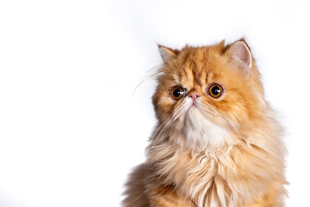 Le Persan, l'un des chats les plus populaires au monde