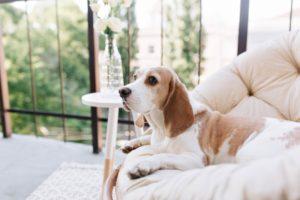 Quel chien choisir si je vis en appartement et sors peu ?